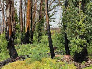 Regenerating Eucalypts